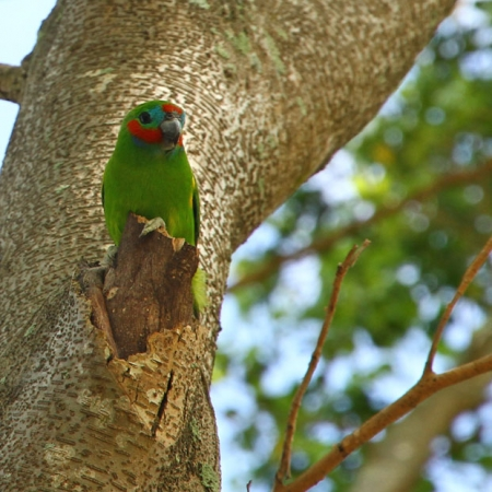 Perroquet (double-eyed Fig-parrot) à Cairns