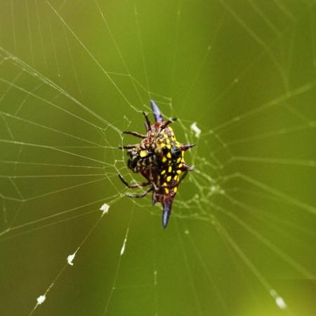Étrange Araignée Originaire Du Queensland - Gasteracantha Fornicata