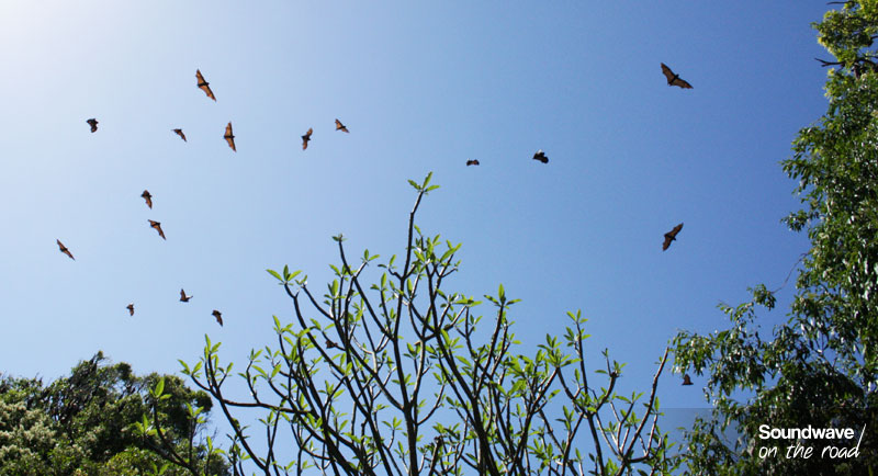 Chauves-souris survolant le Jardin Botanique de Sydney