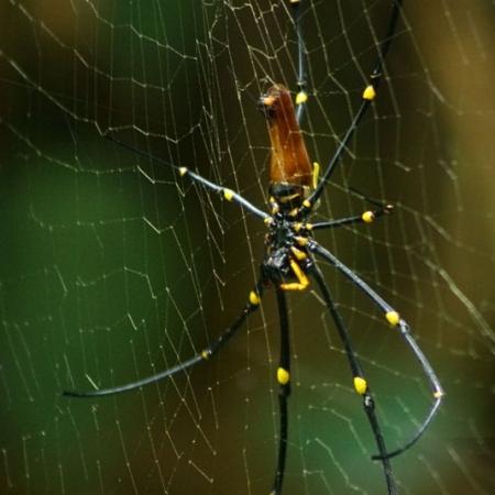 Néphile (olden Orb Weaver Spider) à Darwin