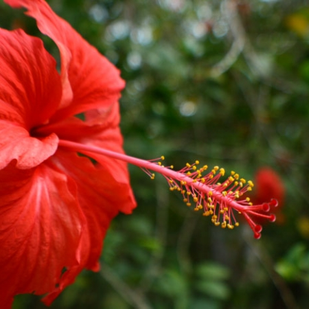 Hibiscus - Darwin