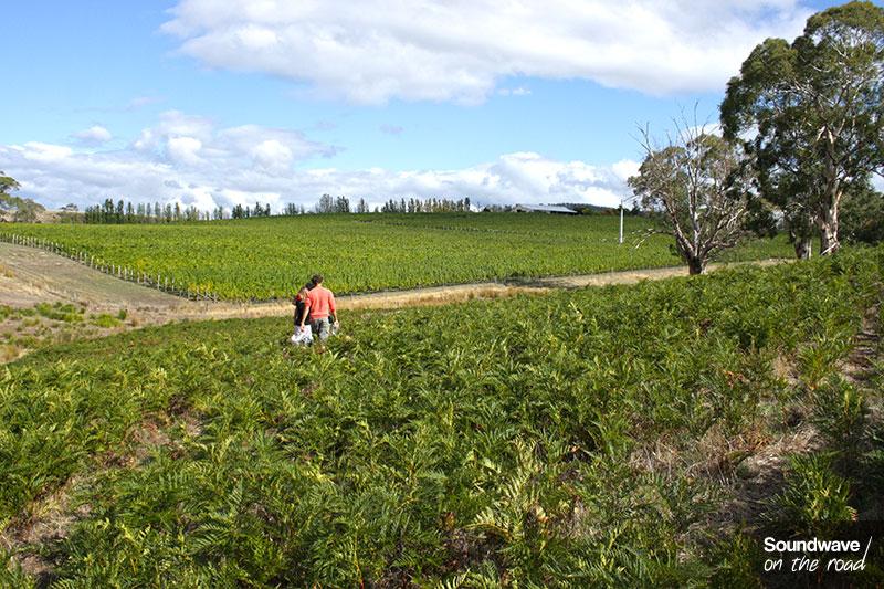 Paysage verdoyant d'un vignoble de Tasmanie