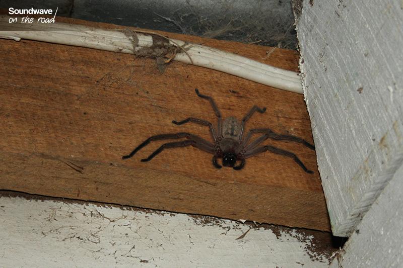 Araignée géante en Australie