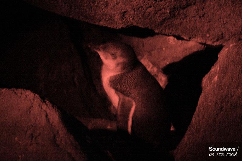 Manchot pygmée à St Kilda, Melbourne, Australie