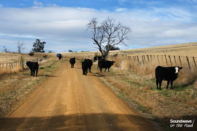 Vaches noires sur une route caillouteuse en Australie