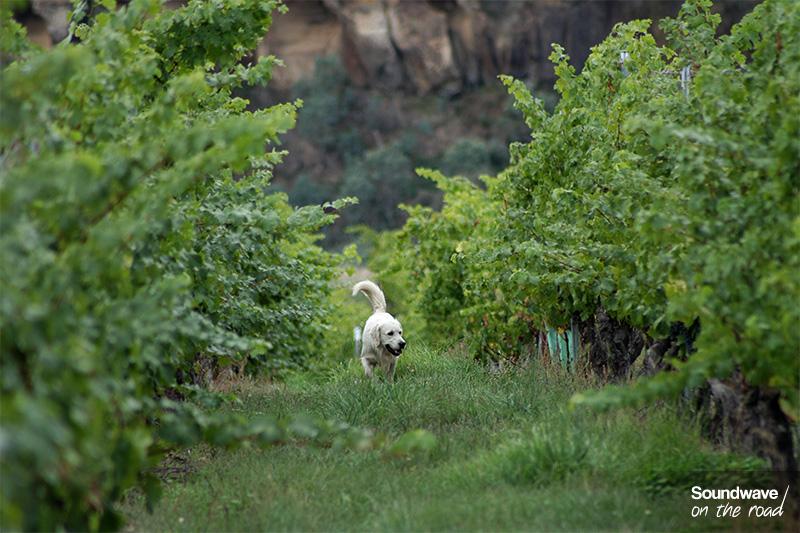 Un golden retriever se balade dans les rangs de vigne