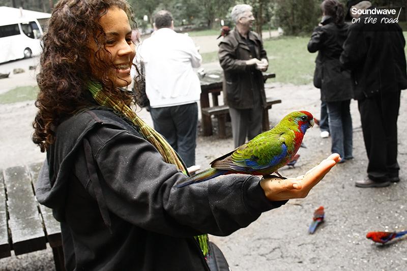 Perruche d'Adelaide dans la main en Australie