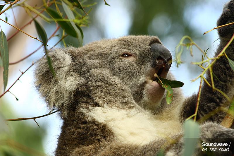Un koala déguste son repas préféré : l'eucalyptus