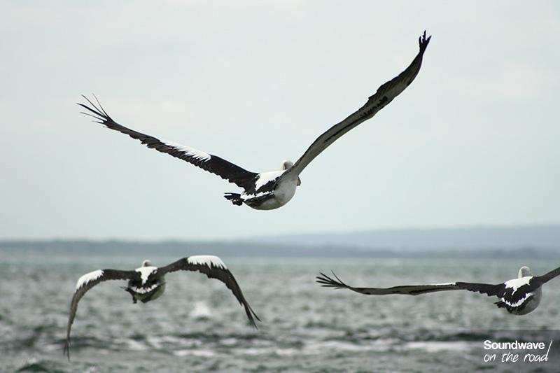 Pélicans en vol au dessus de la mer