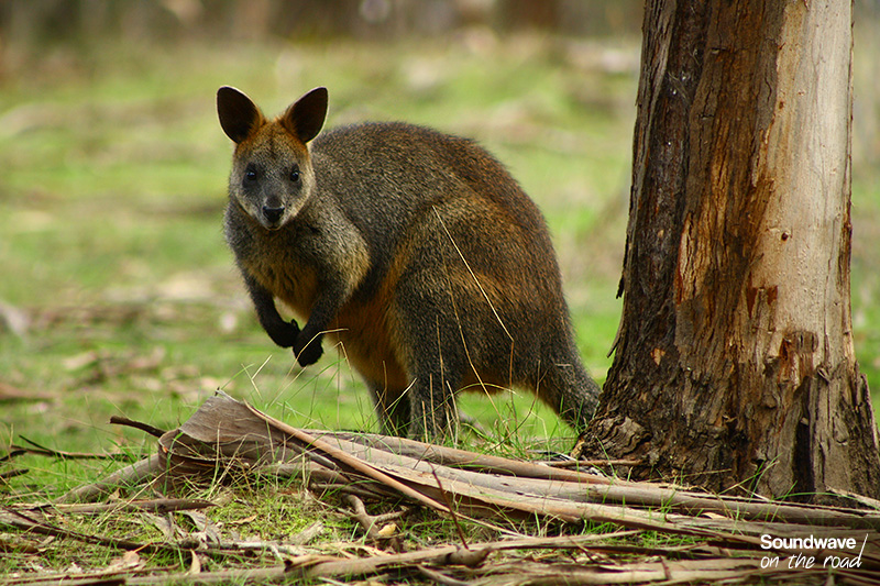 Wallaby sur Phillip Island