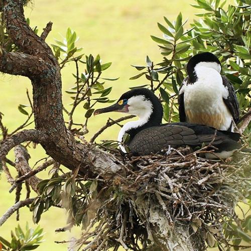 Cormorans En Nouvelle Zélande