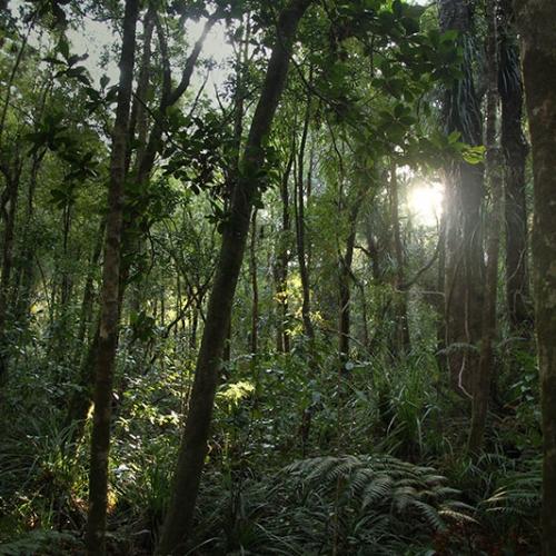 Forêt Millénaire De Nouvelle Zélande