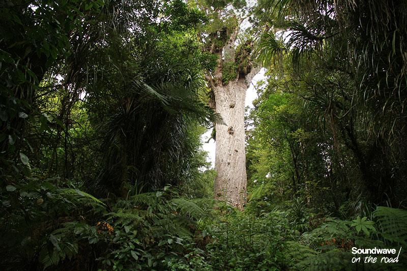 Kauri géant de Nouvelle Zélande