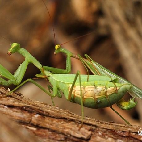 Mating Praying Mantis