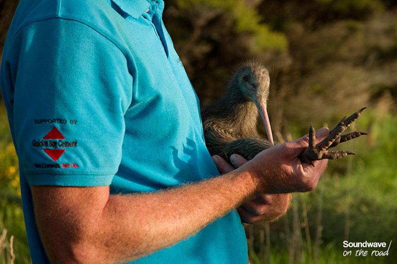 Kiwi bird and conservation ranger
