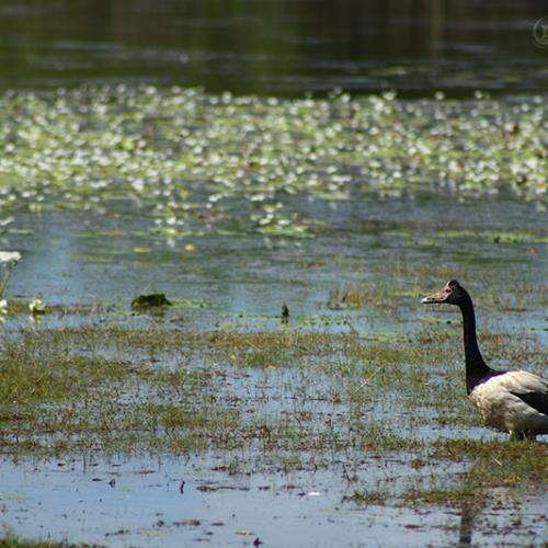Magpie Goose / Canaroie Semipalmée