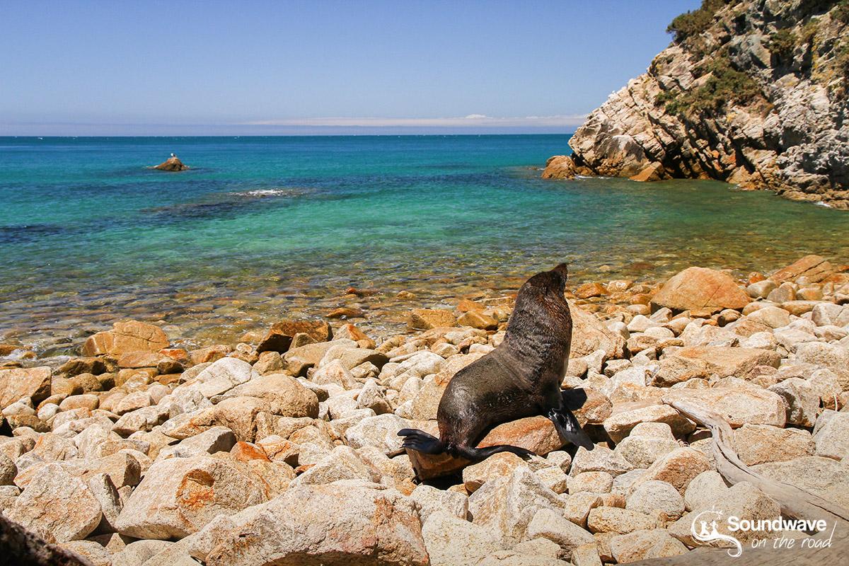 Seal in Abel Tasman, New Zealand