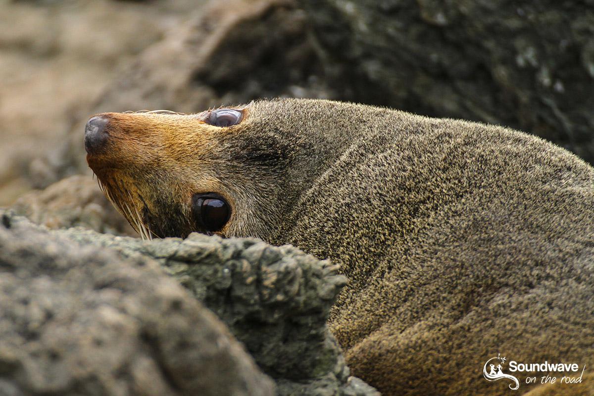 Seal in Cape Palliser, New Zealand