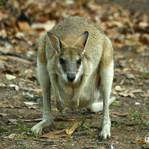 Wallaby In Northern Territory