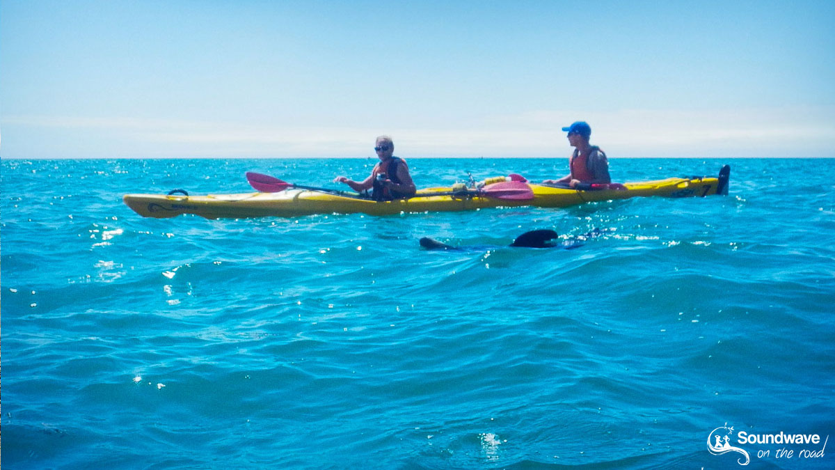 Kayaking with a New Zealand fur seal in the Abel Tasman National Park
