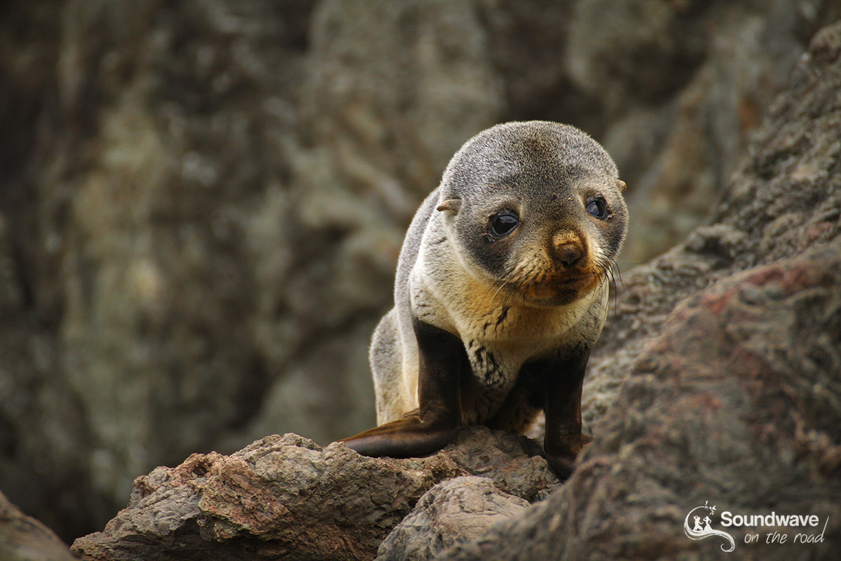 Seal pup in Cape Palliser, New Zealand