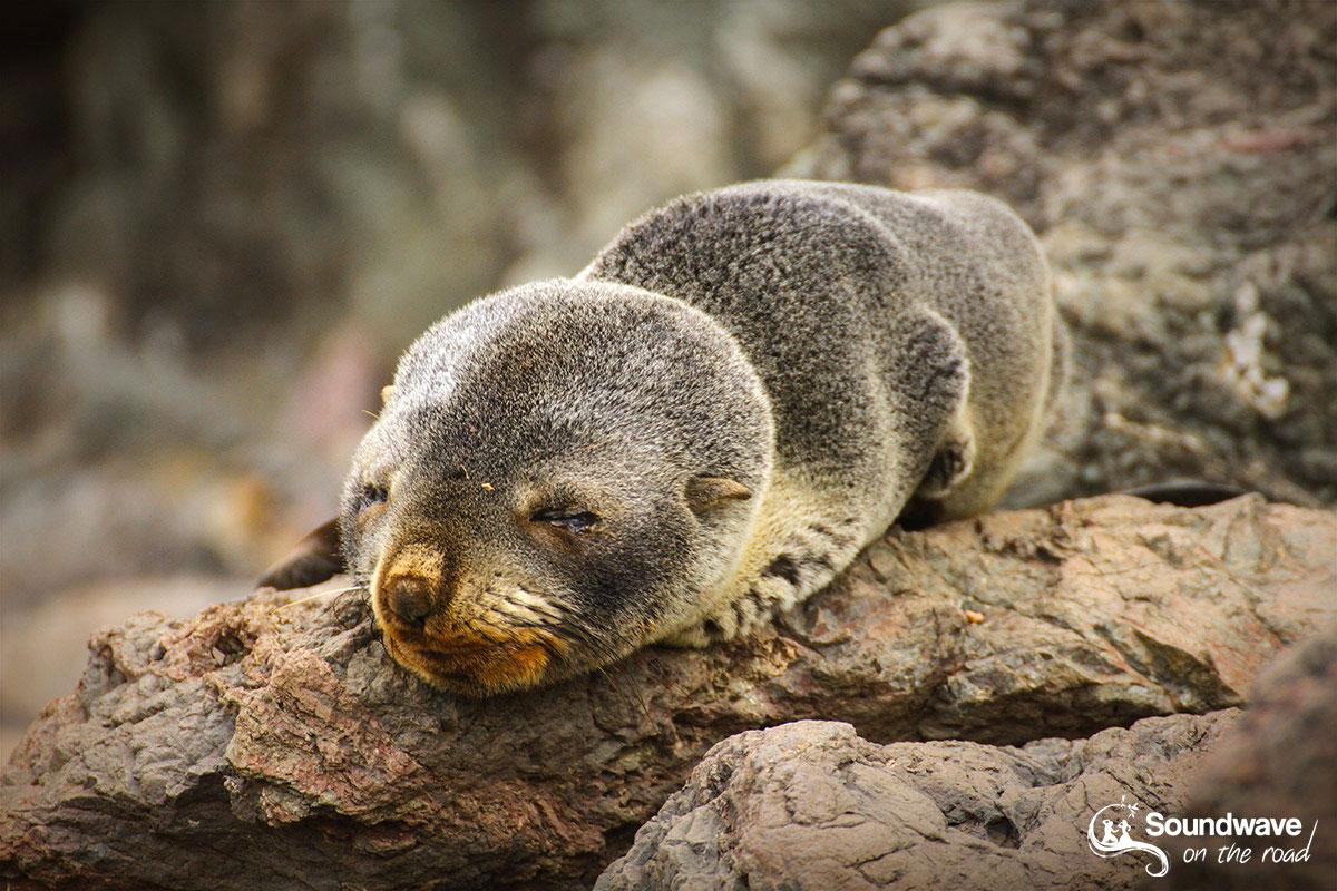 Où observer des otaries et des lions de mer en Nouvelle Zélande ?