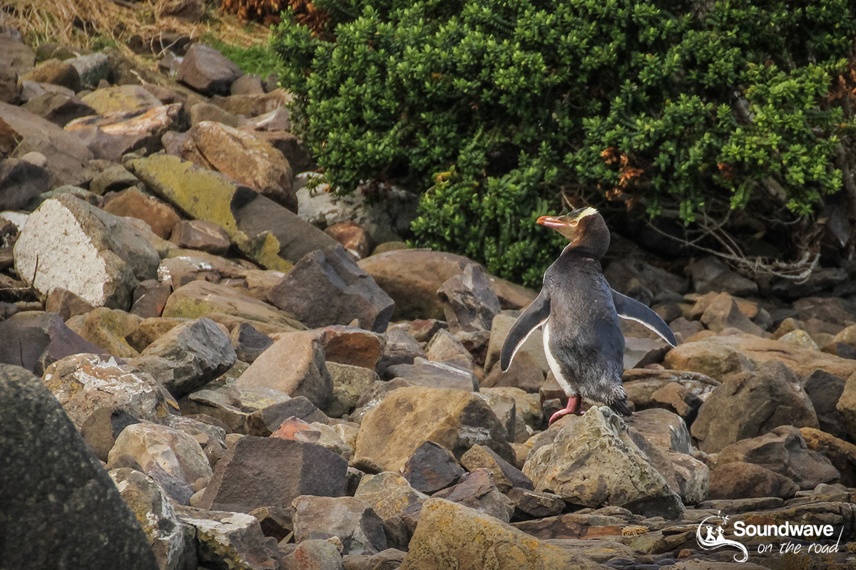 Yellow eyed penguin in the Catlins, New Zealand