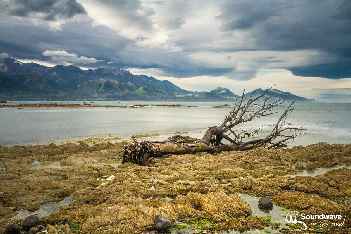 Dead tree in Kaikoura, New Zealand