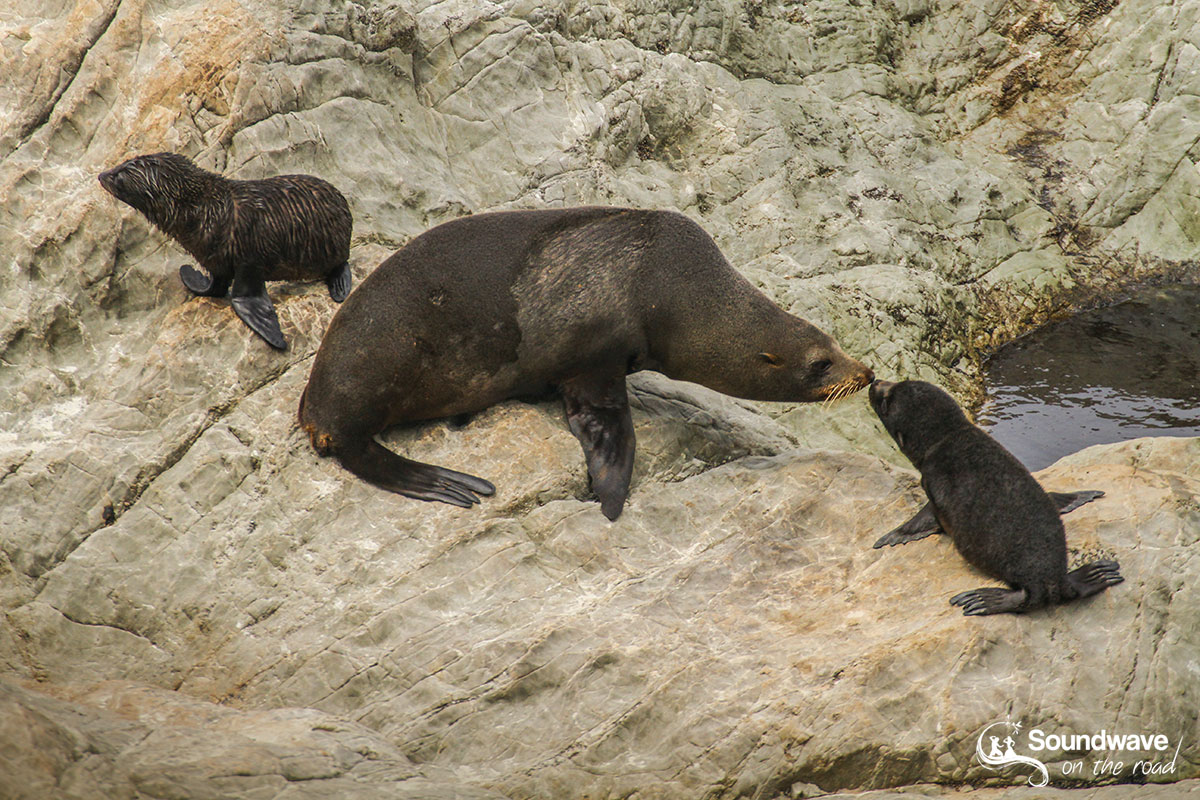 Seal pup with mum in New Zealand