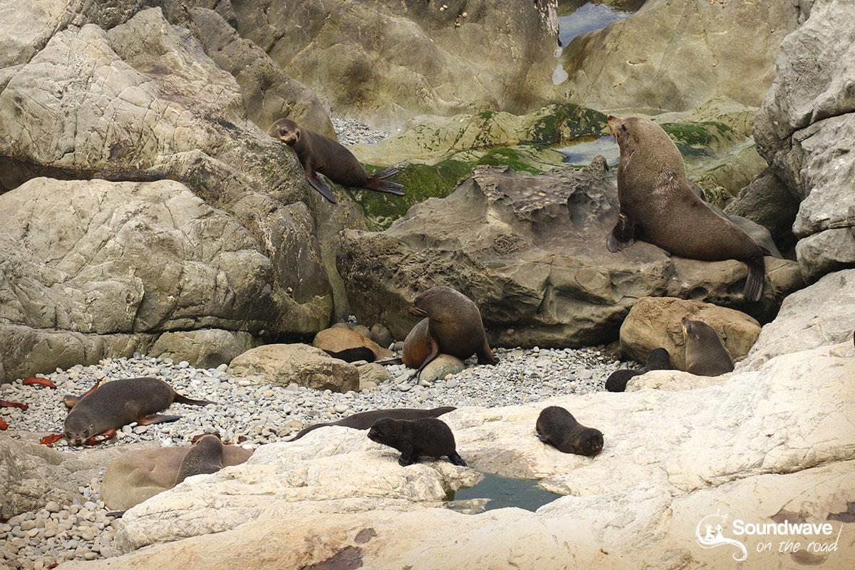 Otaries à fourrure de Nouvelle-Zélande