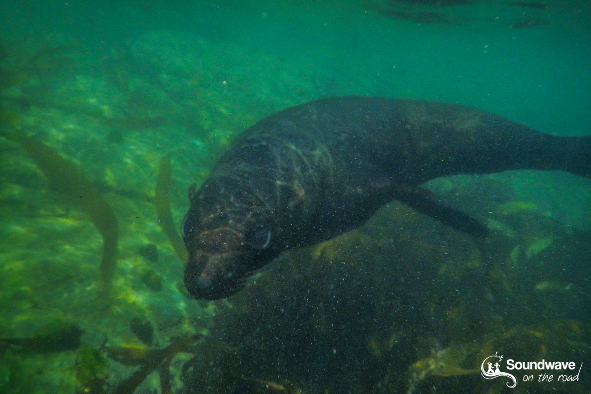Swimming with a New Zealand fur seal in Kaikoura