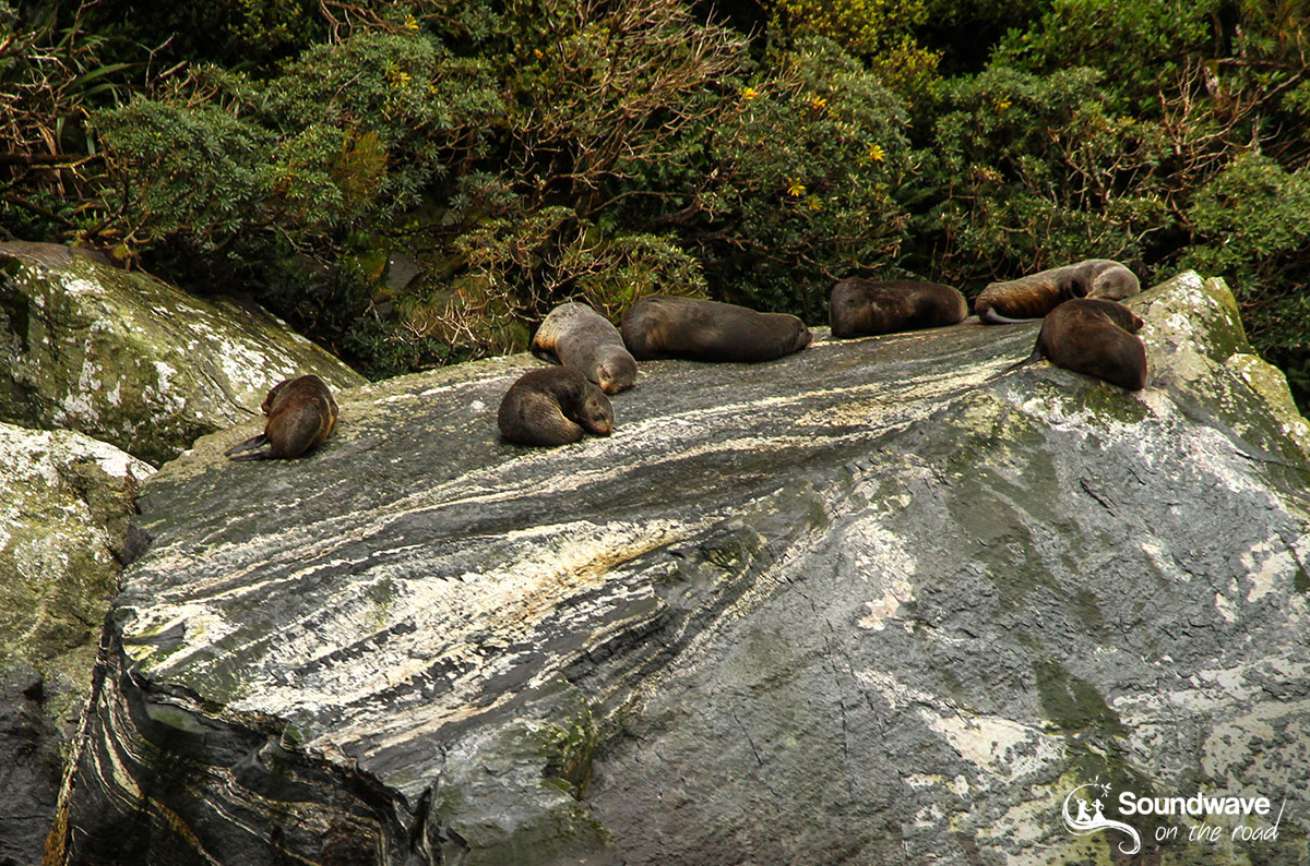 Seals in Milford Sound, New Zealand