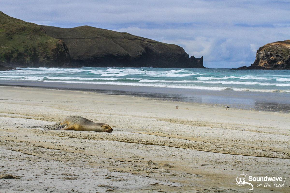 Sea lion, Allans Beach, New Zealand