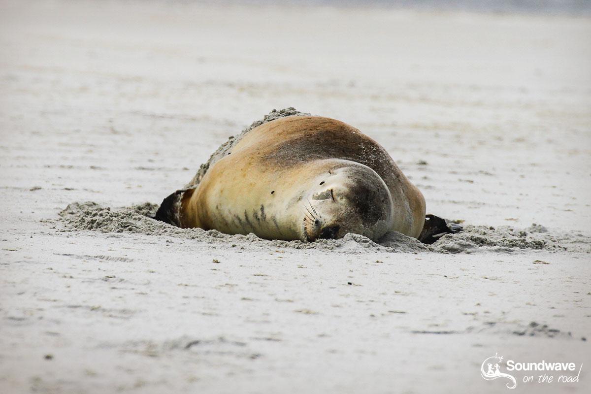 Sea lion asleep in New Zealand