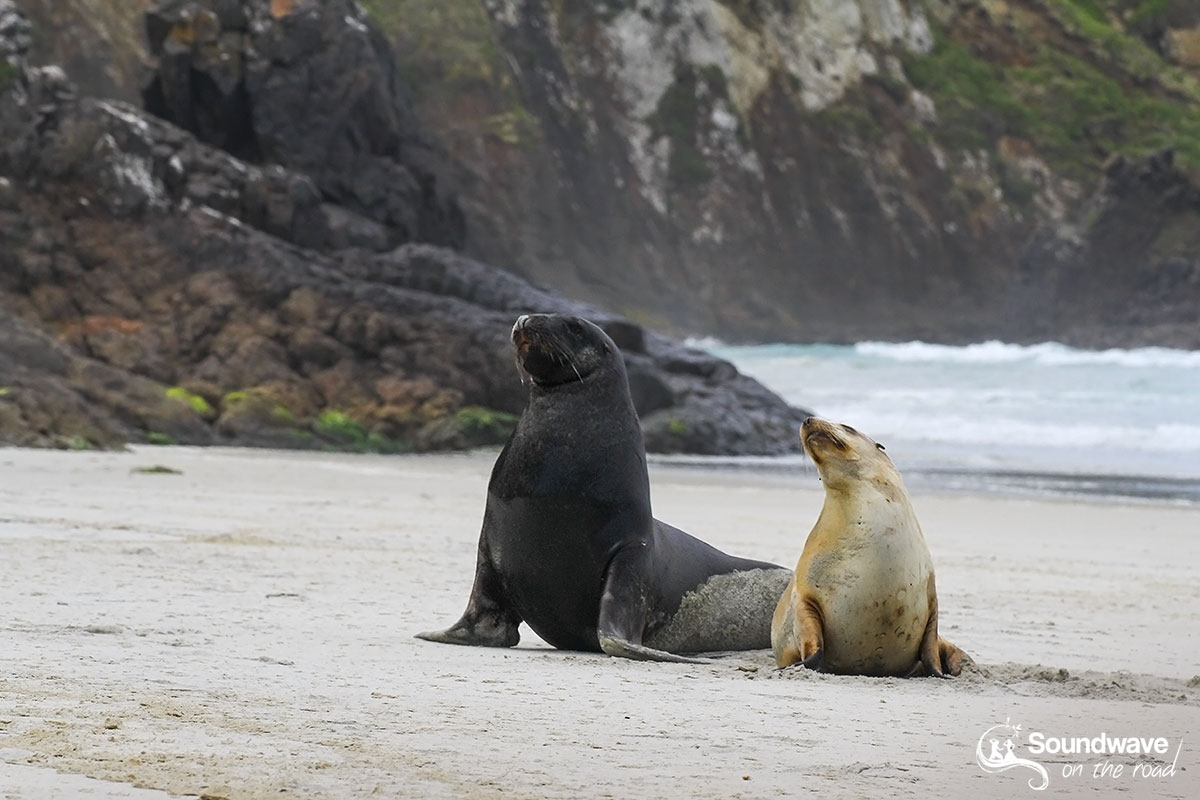 Male and female sea lions in New Zealand