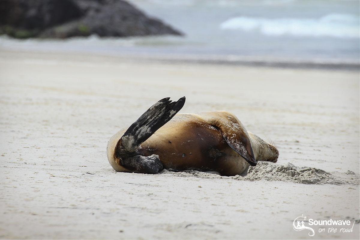 Sleeping sea lion in New Zealand