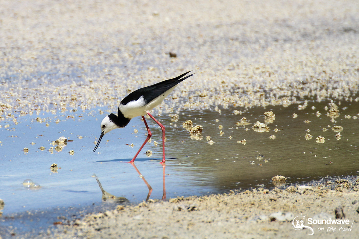 Pied stilt bird in Wai O Tapu, Rototua, New Zealand