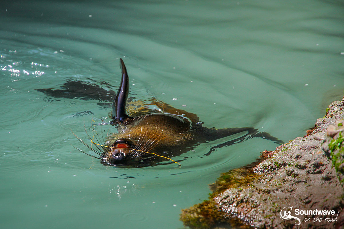 New Zealand fur seal pup playing in a pool of Wharariki Beach