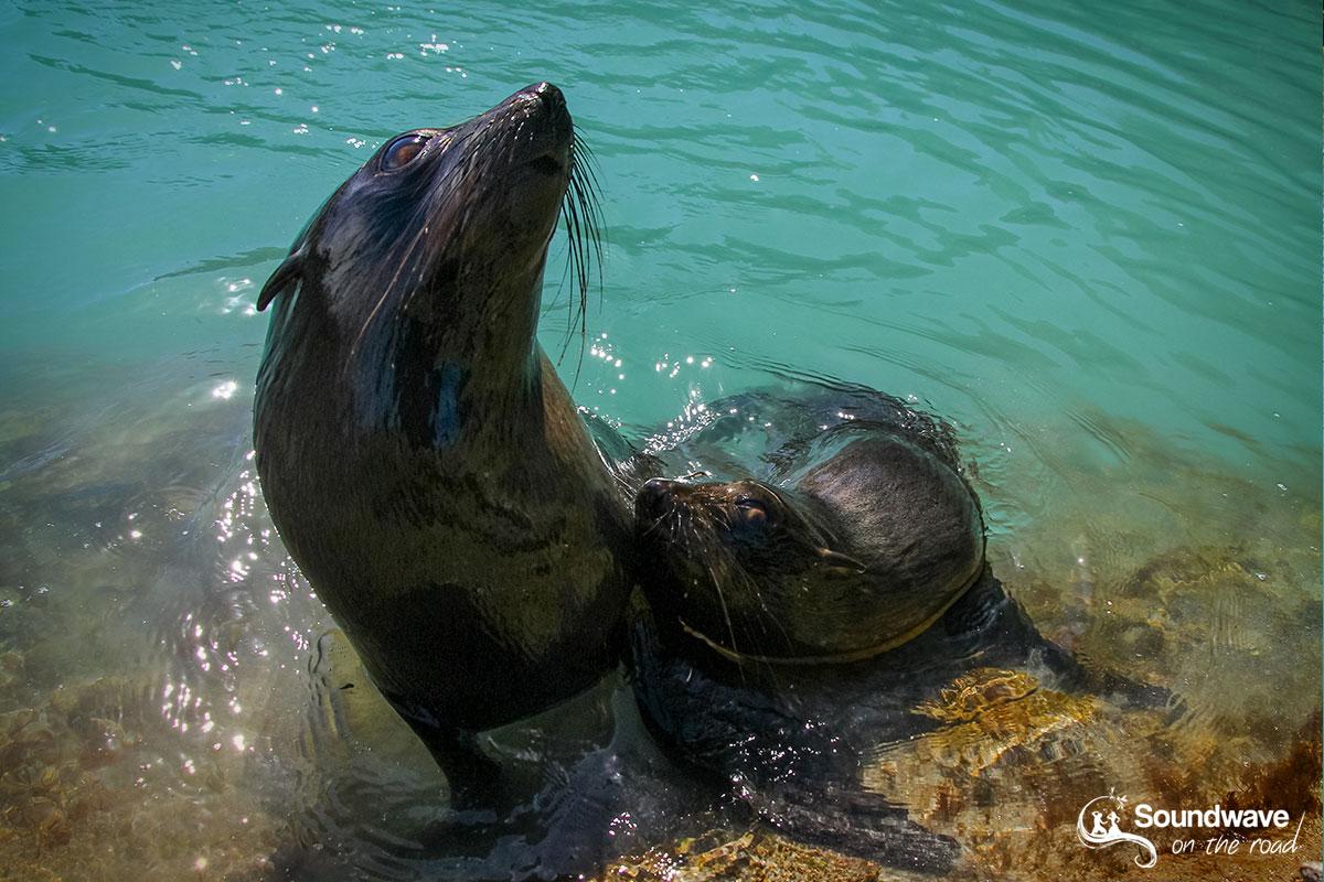 New Zealand fur seal pups playing in a pool of Wharariki Beach