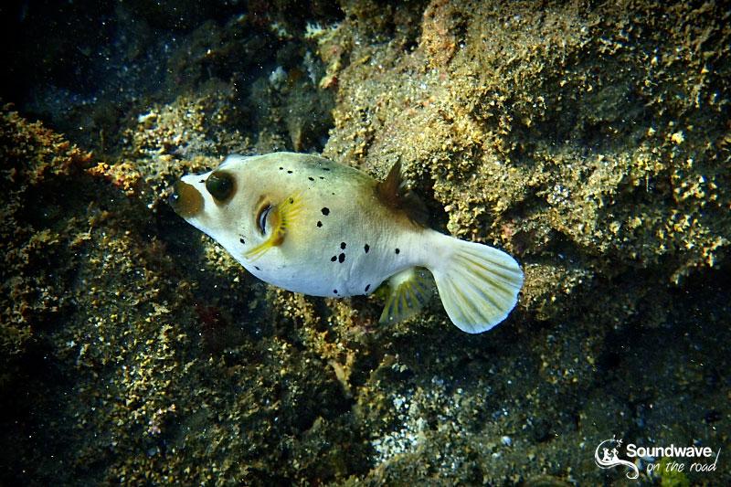 Globe fish in Amed, Bali