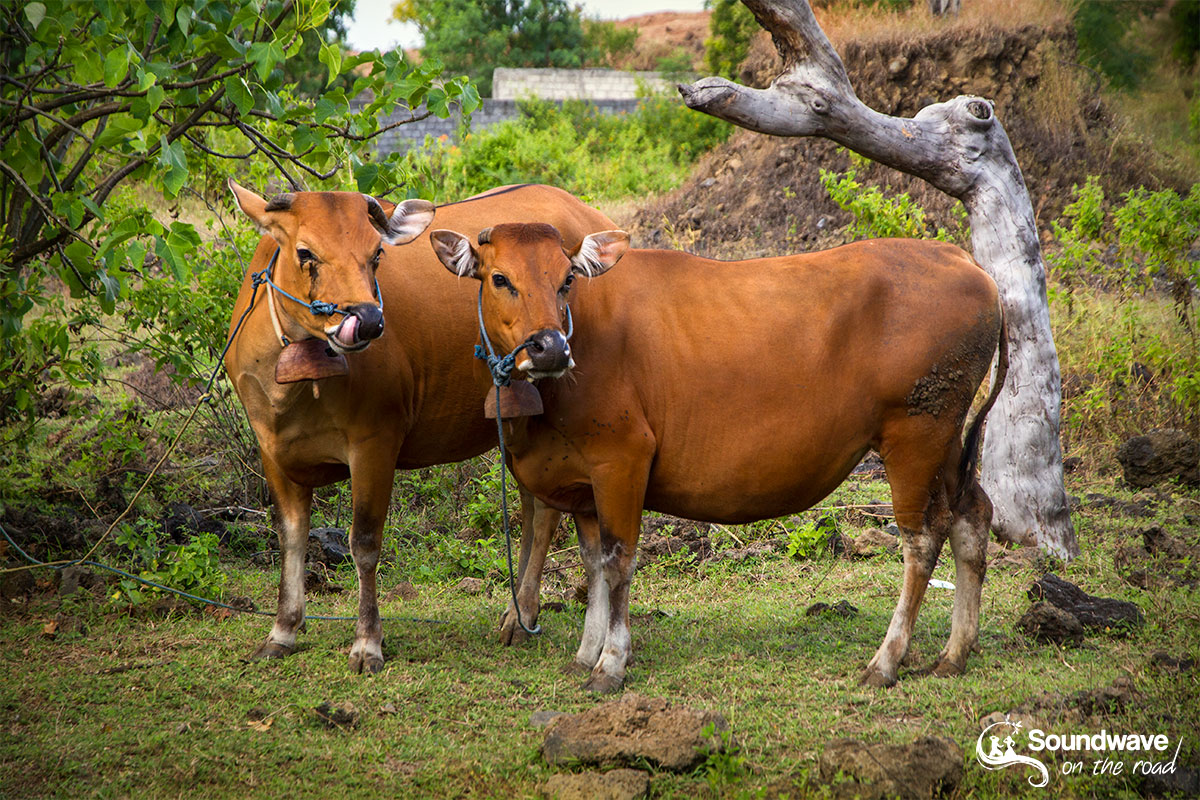 Cows in Bali