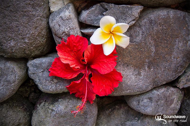 Hibiscus and frangipani flowers
