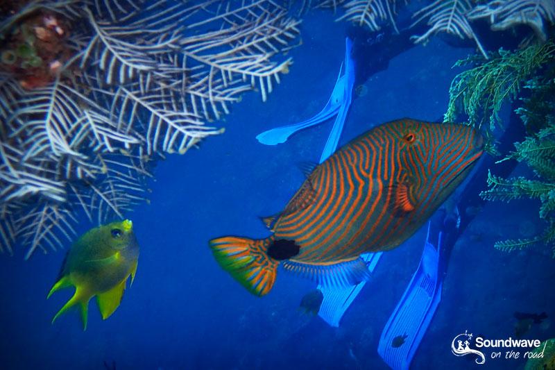 Trigger fish in Tulamben, Amed, Bali