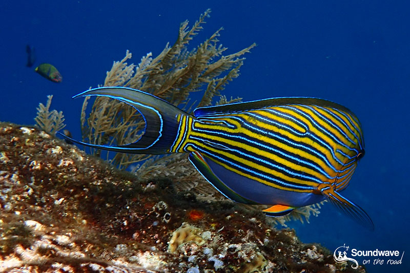 Surgeon fish in Tulamben, Amed, Bali