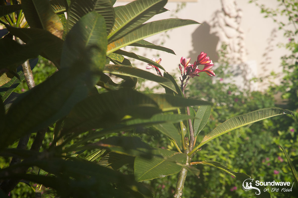 Red frangipani