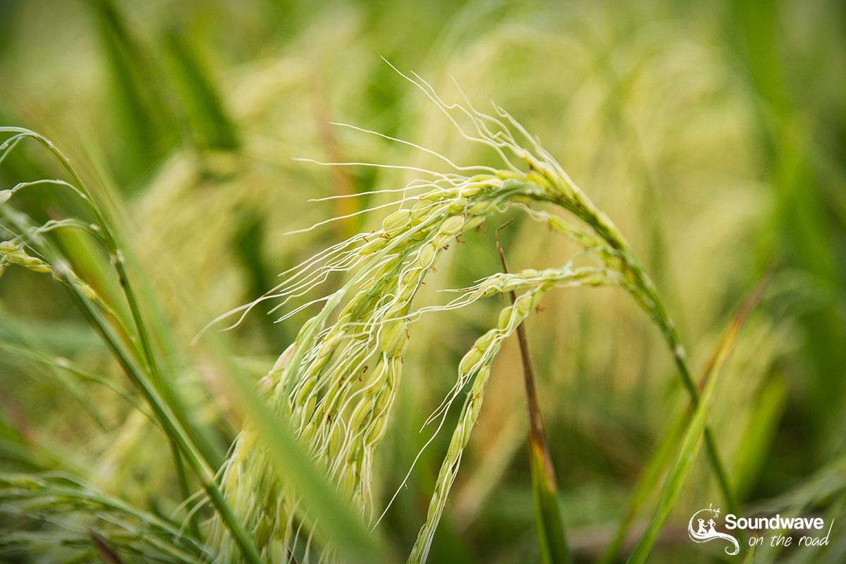 Green rice in Bali