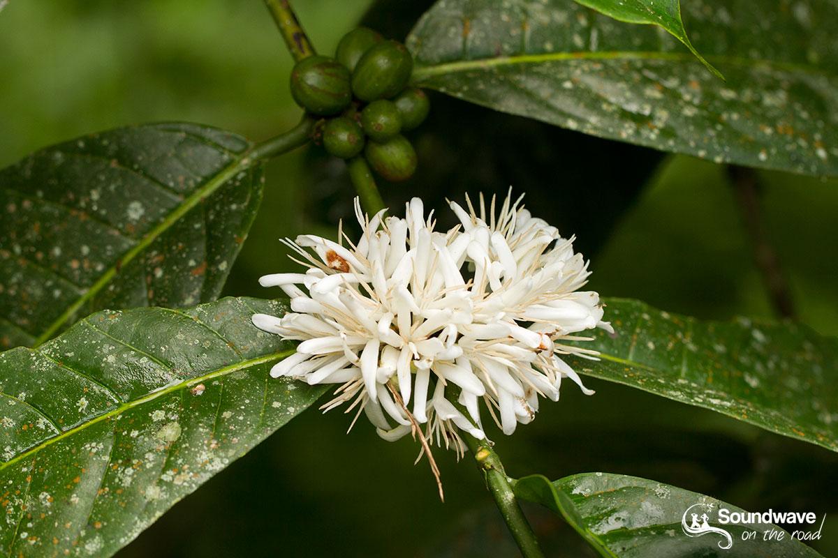 Bali Kopi Flowers