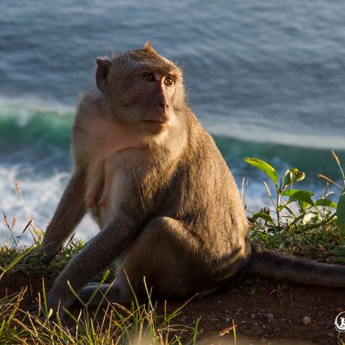 Macaque Sur Fond Marin