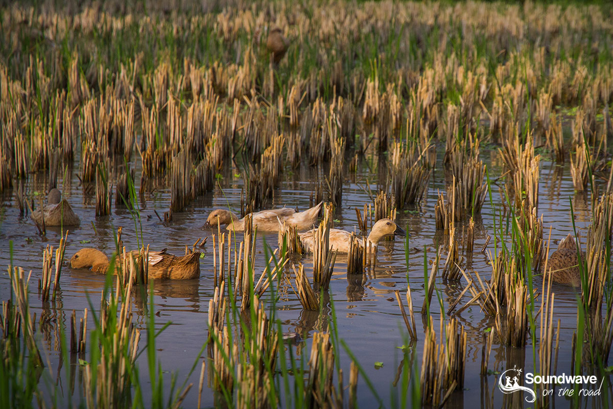 Geese in rice field in Bali