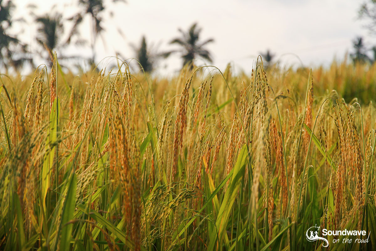 Rice ready for collecting